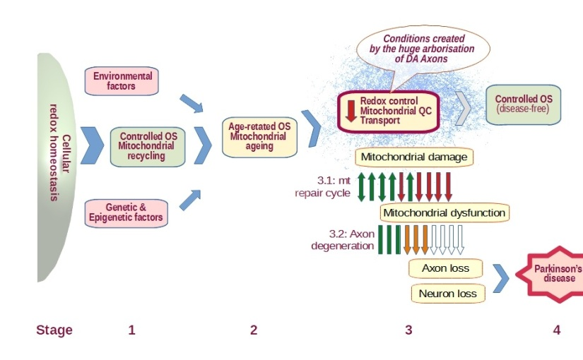A simplified chronological model for the pathogenesis of Parkinson's Disease